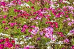 gisement de fleur de cosmos Image stock
