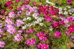 gisement de fleur de cosmos Photographie stock