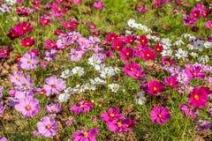 gisement de fleur de cosmos Photos libres de droits