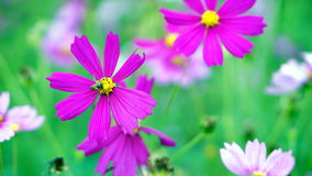gisement de fleur de cosmos Photos stock