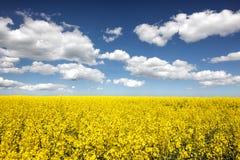 Gisement de fleur de graine de colza Images stock