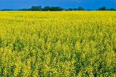 Gisement de fleur de graine de colza dans la campagne au printemps Image libre de droits