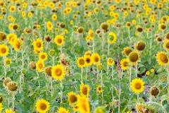 Gisement de fleur de Sun Photo stock