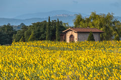 Gisement de fleur de Sun dans le paysage de la Toscane, Italie Photos libres de droits