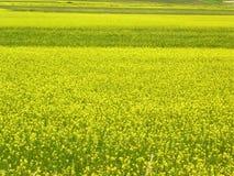 Gisement de fleur jaune photographie stock libre de droits