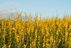 Gisement de fleur jaune Images stock