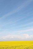 Gisement de fleur jaune de graine de colza et ciel bleu Images libres de droits