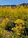 Gisement de fleur jaune lumineux de graine de colza dans le printemps du Japon image libre de droits