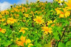 Gisement de fleur mexicain du soleil Photos stock
