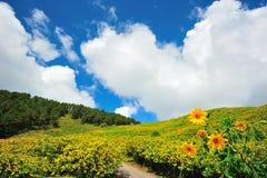 Gisement de fleur mexicain du soleil Image stock