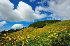 Gisement de fleur mexicain du soleil Images libres de droits