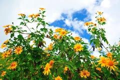 Gisement de fleur mexicain du soleil Image libre de droits