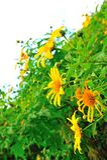 Gisement de fleur mexicain du soleil Photo stock