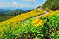 Gisement de fleur mexicain du soleil Photo libre de droits