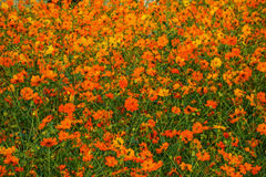 Gisement de fleur orange Photographie stock