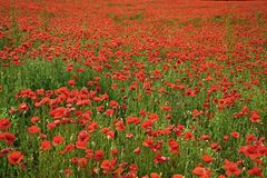 Gisement de fleur de pavot, moissonnant le jour médicinal de souvenir de drogue et d'opium d'intoxication d'amour, Anzac Day, sér photo stock