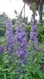 Gisement de fleur pourpre d'Angelonia Photo libre de droits