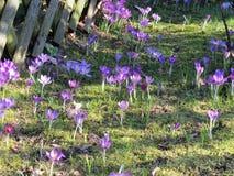 Gisement de fleur pourpre sur l'herbe images libres de droits