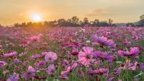 Gisement de fleur rose et rouge de cosmos dans le lever de soleil de matin Foc mou Image stock