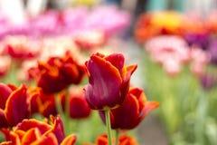 Gisement de fleur rouge et jaune de tulipe Photos libres de droits