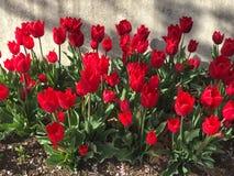 Gisement de fleur de tulipe au printemps photo libre de droits