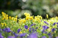 Gisement de fleurs de Beauitful Pancy dans le lever de soleil de matin tandis que summe Photographie stock libre de droits