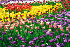 Gisement de fleurs de floraison de tulipes, pelouse d'herbe verte dans le beau spr Photo stock