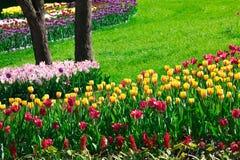 Gisement de fleurs de floraison de tulipes, pelouse d'herbe verte dans le beau spr Photos stock