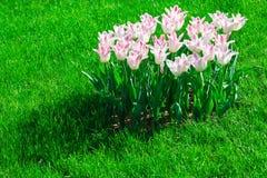Gisement de fleurs de floraison de tulipes, pelouse d'herbe verte dans le beau spr Photographie stock libre de droits
