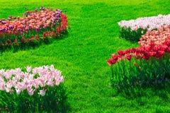 Gisement de fleurs de floraison de tulipes, pelouse d'herbe verte dans le beau spr Image libre de droits