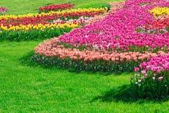 Gisement de fleurs de floraison de tulipes, pelouse d'herbe verte dans le beau spr Images libres de droits