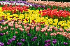 Gisement de fleurs de floraison de tulipes, pelouse d'herbe verte dans le beau spr Photo libre de droits