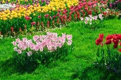 Gisement de fleurs de floraison de tulipes, pelouse d'herbe verte dans le beau spr Image stock