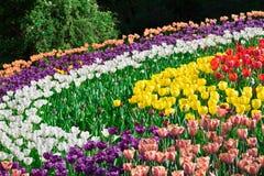 Gisement de fleurs de floraison de tulipes, pelouse d'herbe verte dans le beau spr Photographie stock