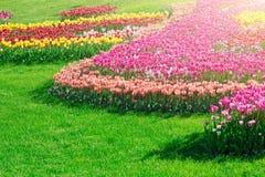 Gisement de fleurs de floraison de tulipes, pelouse d'herbe verte dans le beau spr Images stock
