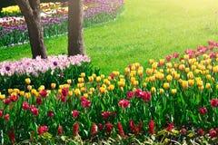 Gisement de fleurs de floraison de tulipes, pelouse d'herbe verte dans le beau spr Photos libres de droits