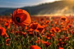 Gisement de fleurs de pavot en montagnes brumeuses photo libre de droits