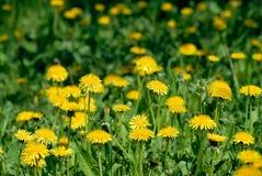 Gisement de fleurs de pissenlit Photo stock