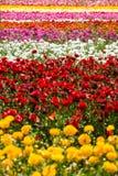 Gisement de fleurs de renoncule images libres de droits