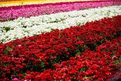 Gisement de fleurs de renoncule Photo libre de droits
