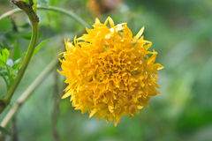 Gisement de fleurs de souci photo stock