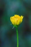 Gisement de fleurs de souci photos stock