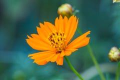 Gisement de fleurs de souci photographie stock libre de droits