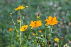 Gisement de fleurs de souci image libre de droits