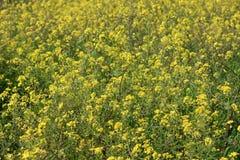 Gisement de fleurs jaune Images libres de droits