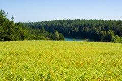 Gisement de fleurs jaune d'été photographie stock libre de droits
