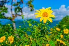 Gisement de fleurs jaune de diversifolia de Tithonia dans la forêt de la Thaïlande Photographie stock libre de droits