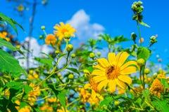 Gisement de fleurs jaune de diversifolia de Tithonia dans la forêt de la Thaïlande Images libres de droits