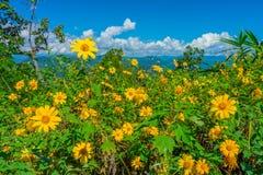 Gisement de fleurs jaune de diversifolia de Tithonia dans la forêt de la Thaïlande Photo stock