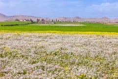 Gisement de fleurs jaune de floraison de beau paysage marocain avec des montagnes en été Photos stock